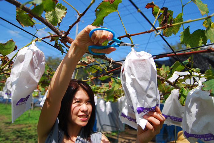 grape hunting (picking) kumi