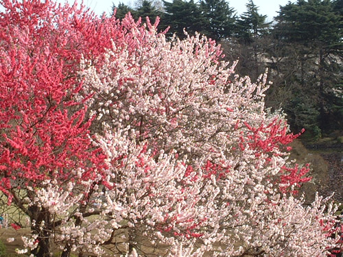 canadian red cherry tree pictures. The darker red/pink flowers