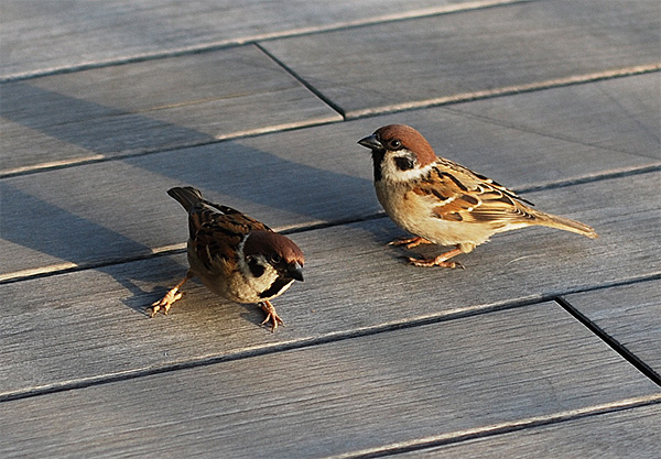 sparrows two birds