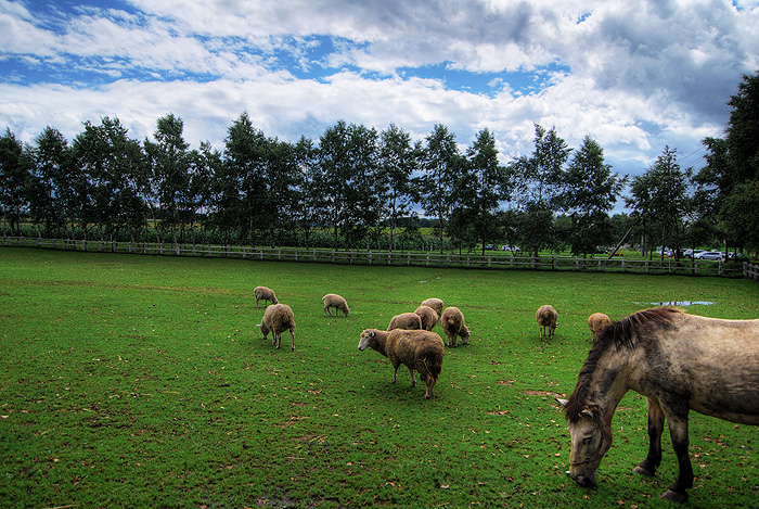 sapporo hakone farms sheep
